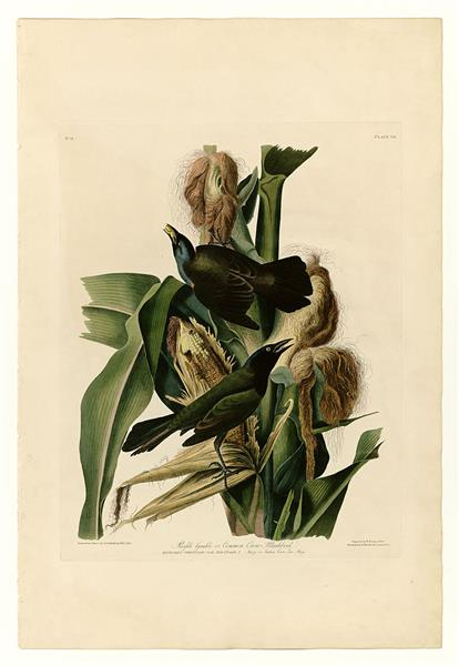 PURPLE GRACKLE, c.1838 - Джон Джеймс Одюбон