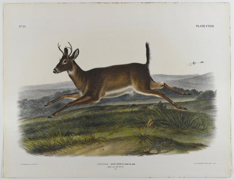 Long-Tailed Deer, 1847 - John James Audubon