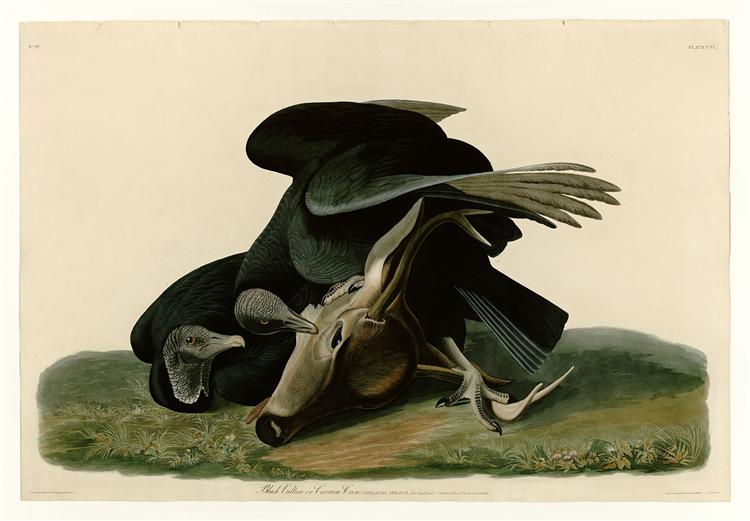 Plate 106 Black Vulture or Carrion Crow - John James Audubon