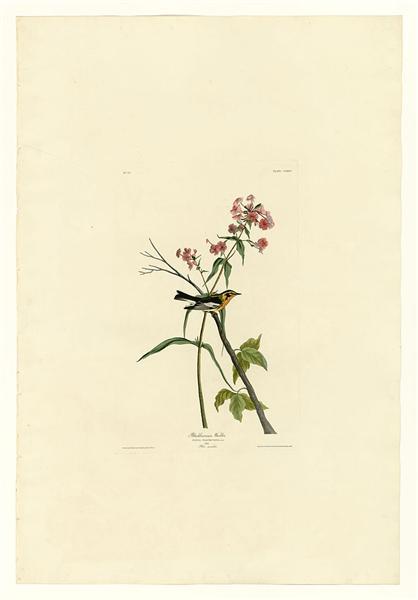 Plate 135 Blackburnian Warbler - John James Audubon