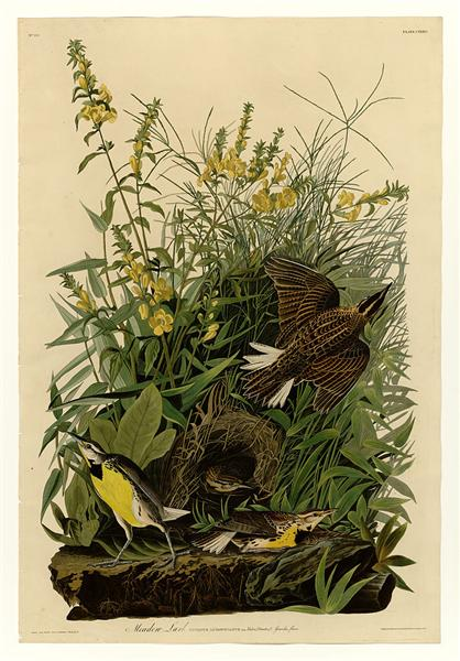 Plate 136 Meadow Lark - John James Audubon