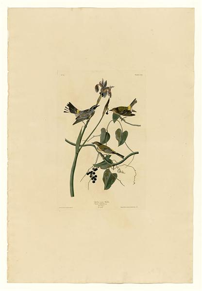 Plate 153 Yellow-crown Warbler - John James Audubon