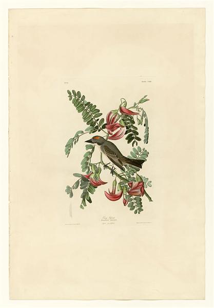 Plate 170 Gray Tyrant - John James Audubon