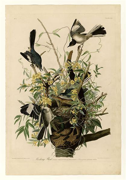 Plate 21. Mocking Bird - John James Audubon