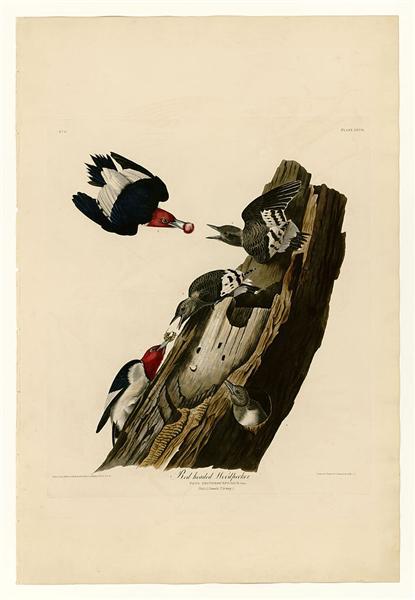 Plate 27. Red headed Woodpecker - John James Audubon