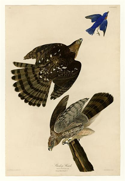 Plate 36. Stanley Hawk - John James Audubon