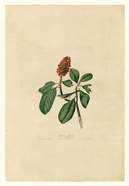 Plate 5. Bonaparte's Flycatcher - John James Audubon