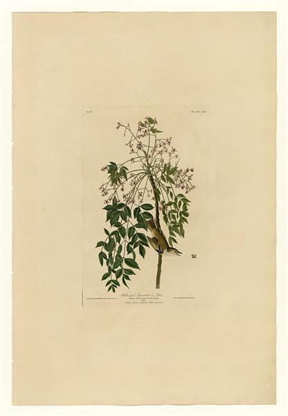 Plate 63 White-eyed Flycatcher or Vireo - John James Audubon