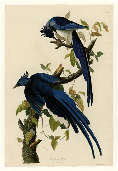 Plate 96 Columbia Jay - John James Audubon