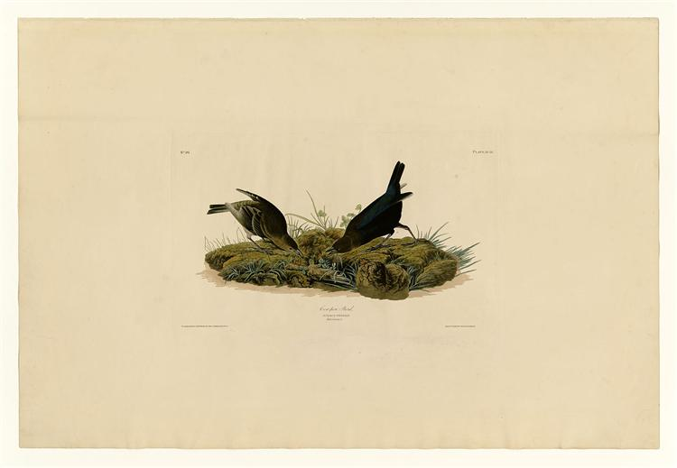 Plate 99 Cow-pen Bird - John James Audubon