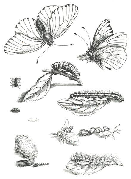 Plate LXXXV, from Erucarum Ortus Alimentum et Paradoxa Metamorphosis (1679-1717), 1717 - Maria Sibylla Merian