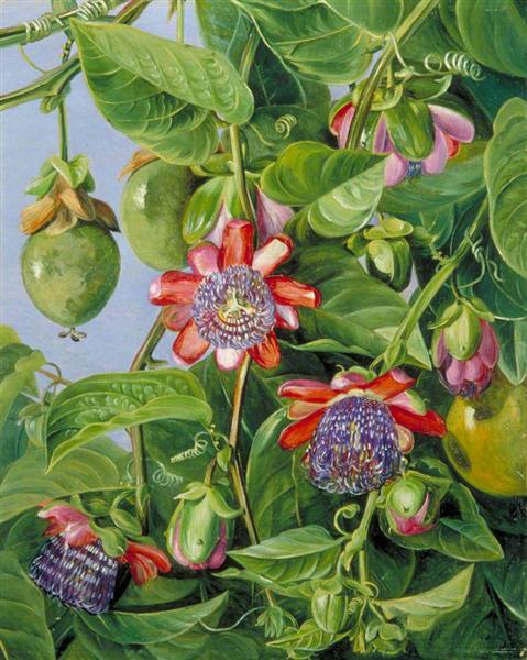 Flowers and Fruit of the Maricojas Passion Flower, Brazil, 1873 - Marianne North
