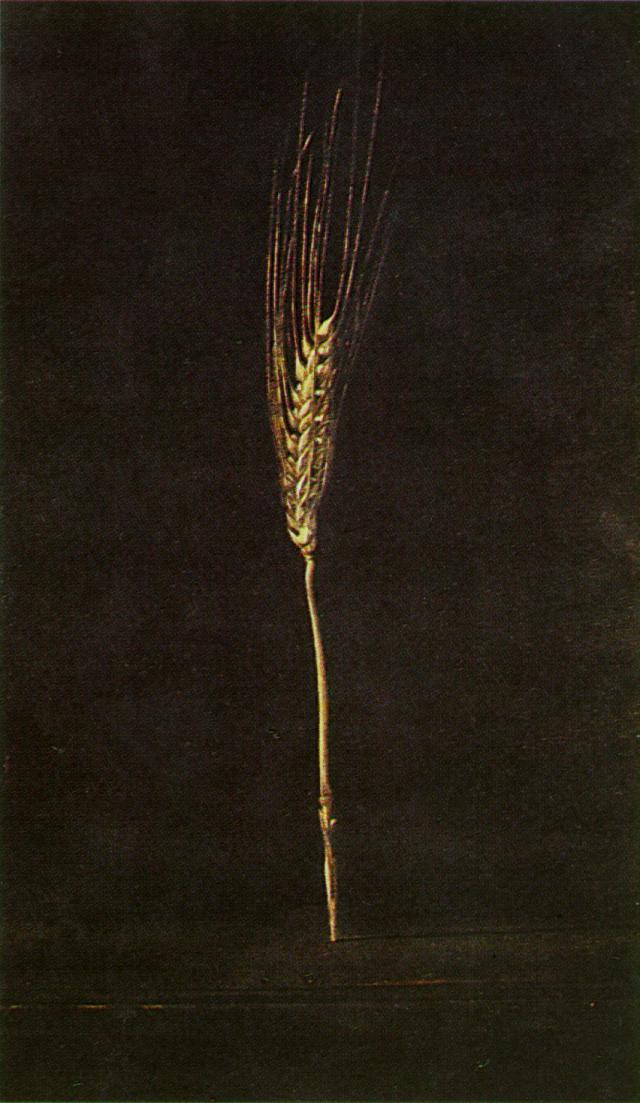 Wheat Ear, 1947